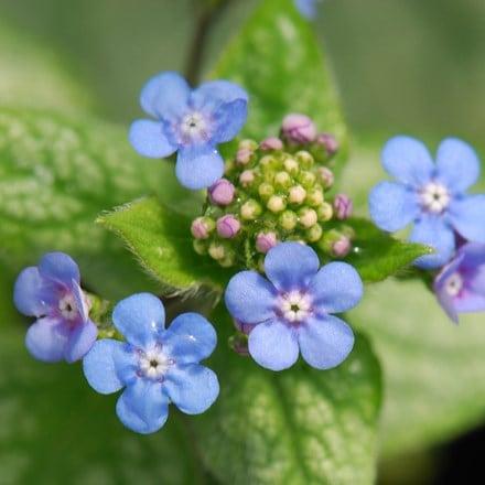 Brunnera macrophylla Jack Frost (PBR)