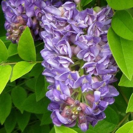 Wisteria frutescens Longwood Purple
