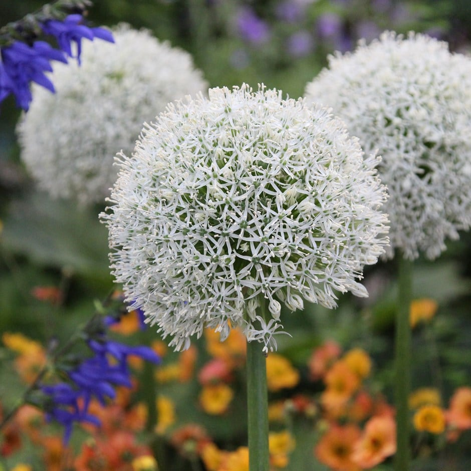 <i>Allium stipitatum</i> 'Mount Everest'