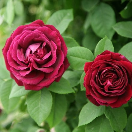Rosa Souvenir du Docteur Jamain