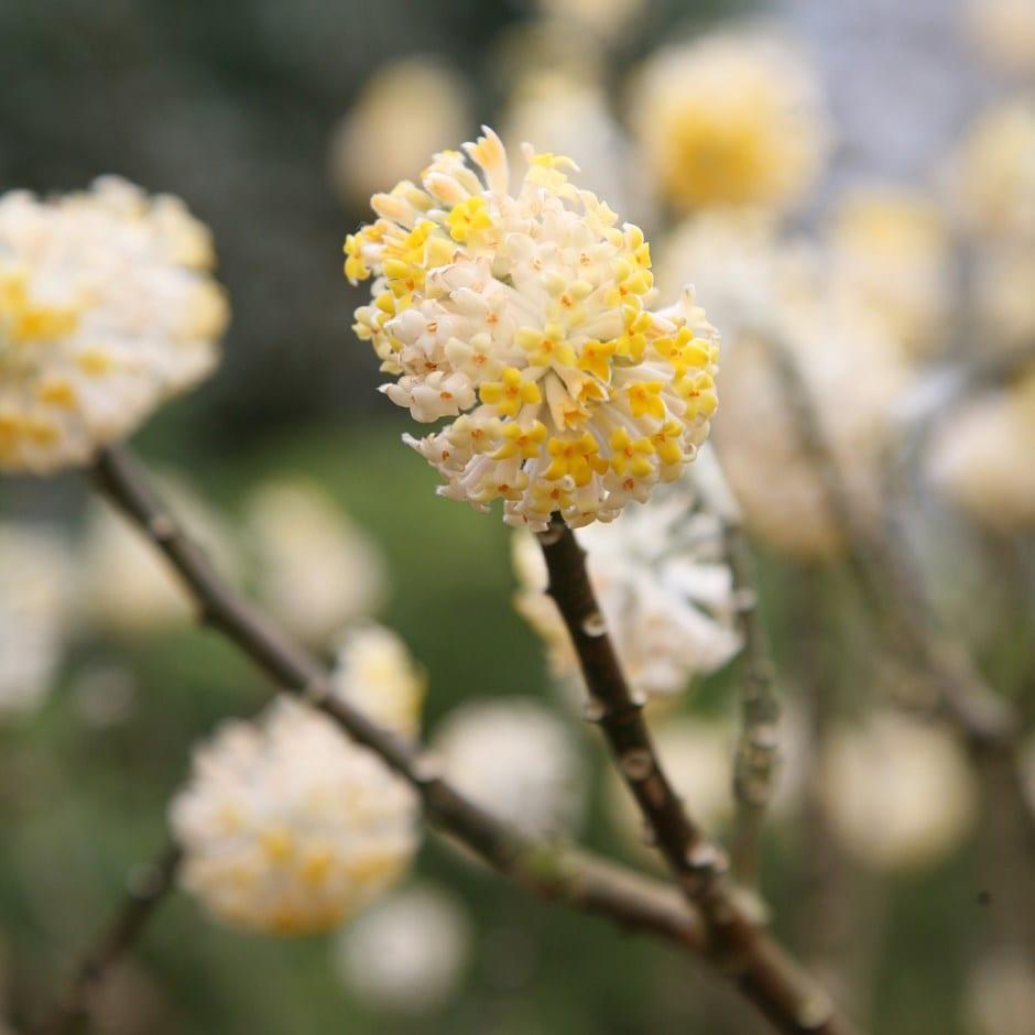 paper bush