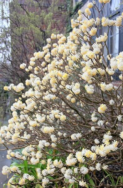 Buy Paper Bush Edgeworthia Chrysantha: Delivery By