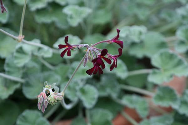 Buy Species Pelargoniums Pelargonium Sidoides 163 7 19
