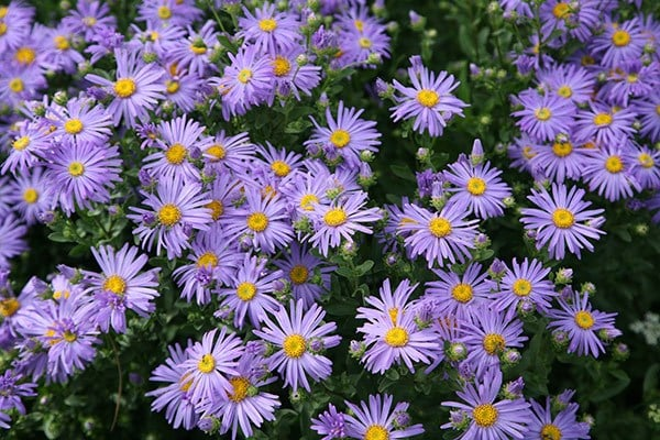 Buy Aster Aster Amellus King George 163 5 59 Delivery By Crocus