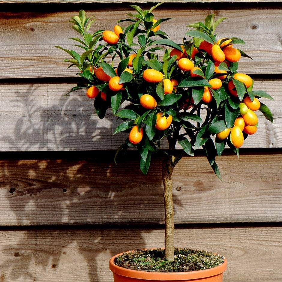 Buy kumquat citrus japonica delivery by waitrose garden for Plante kumquat