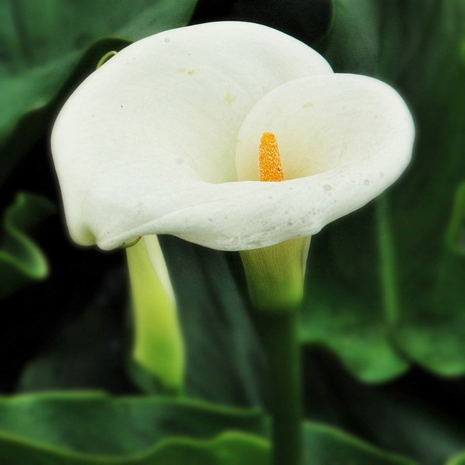 Buy Arum Lily Bulb Zantedeschia Aethiopica Delivery By Waitrose