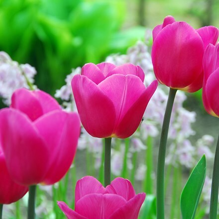 Tulipa Barcelona
