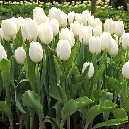 Tulipa Calgary