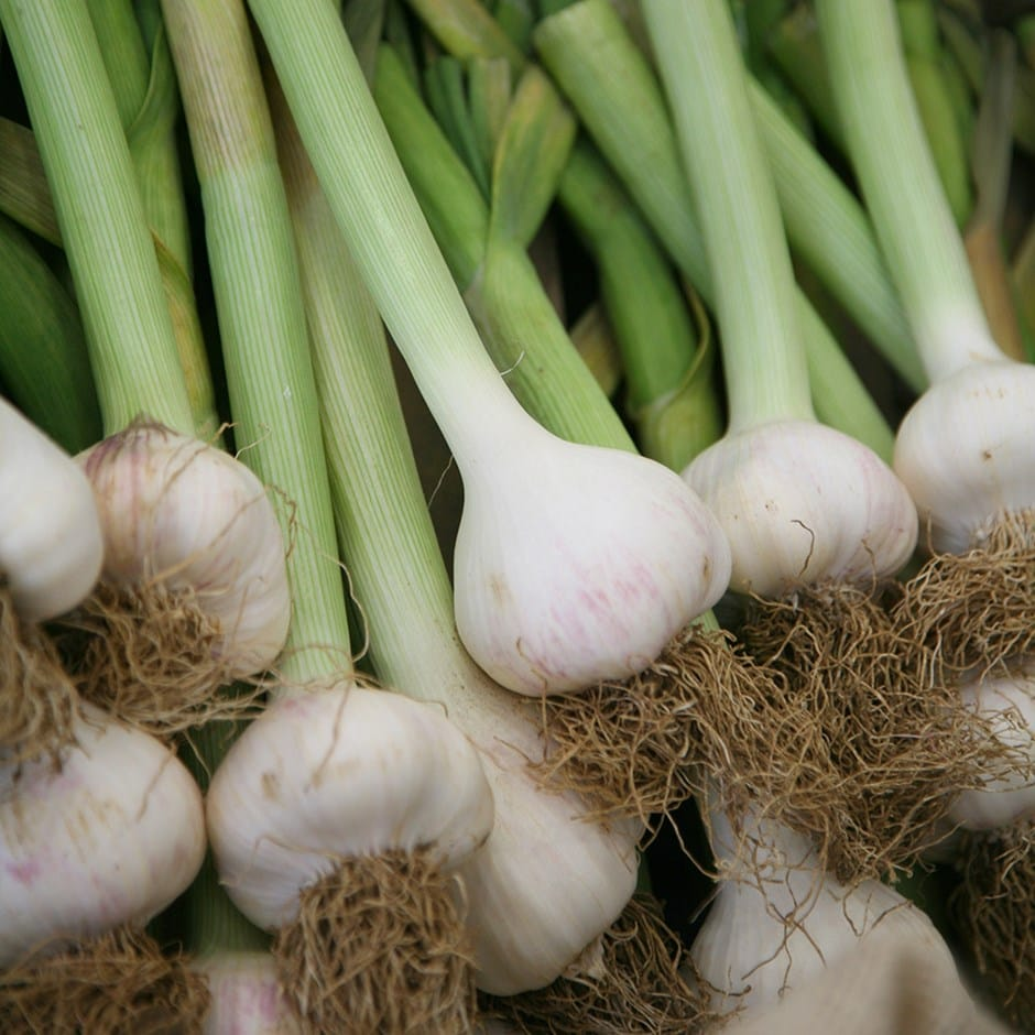 buy garlic softneck bulb garlic solent wight