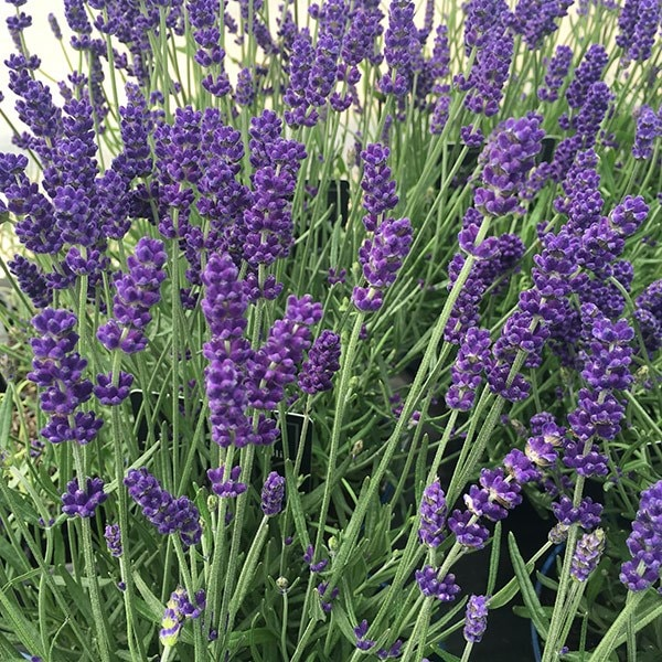 buy lavender lavandula angustifolia hidcote. Black Bedroom Furniture Sets. Home Design Ideas