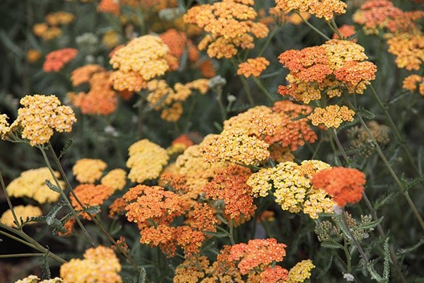 Buy Yarrow Achillea Terracotta Delivery By Waitrose