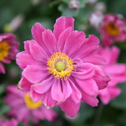 Anemone hupehensis var. japonica Pamina