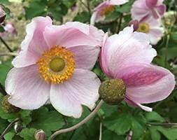 Anemone × hybrida September Charm