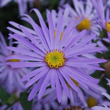 Aster × frikartii Monch