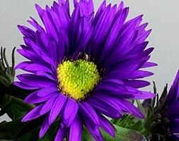 Symphyotrichum novi-angliae Purple Dome