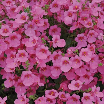 Diascia Little Dancer ('Pendan') (PBR)