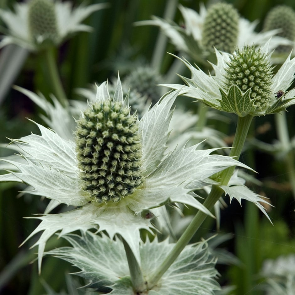 Miss Willmott's ghost sea holly