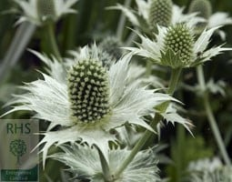 miss wilmott's ghost sea holly