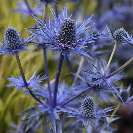 Eryngium × zabelii Jos Eijking