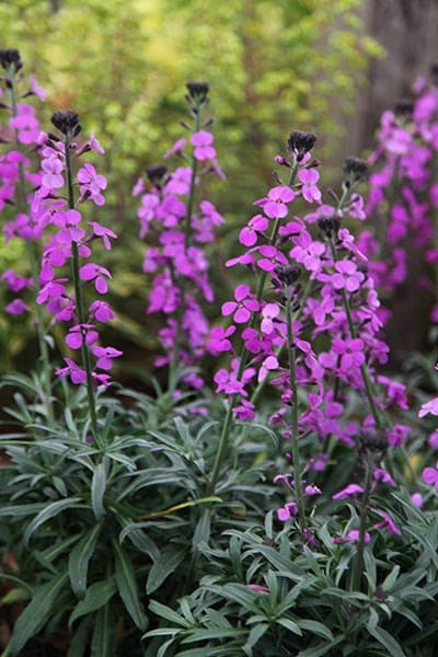 Buy Wallflower Erysimum Bowles S Mauve 163 5 99 Delivery By