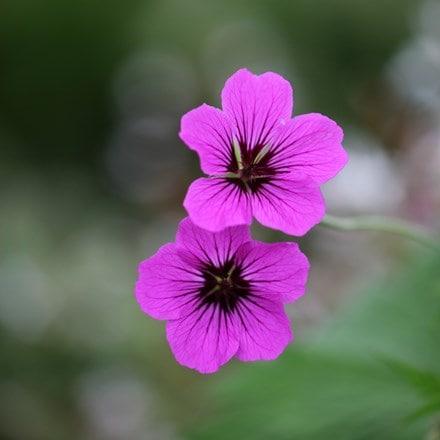 Geranium Patricia ('Brempat')