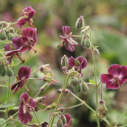 Geranium phaeum var. phaeum Samobor