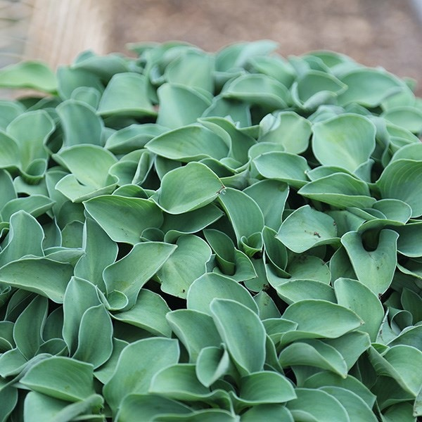 Buy Plantain Lily Hosta Blue Mouse Ears 799 Delivery By Crocus