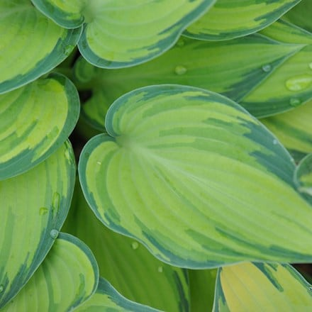 Hosta (Tardiana Group) June (PBR)