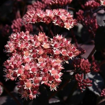Hylotelephium telephium Purple Emperor