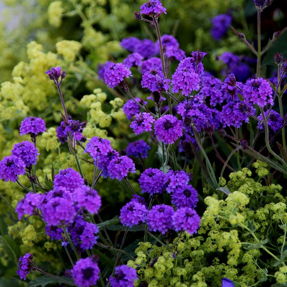 Buy slender vervain Verbena rigida: £5.99 Delivery by Crocus