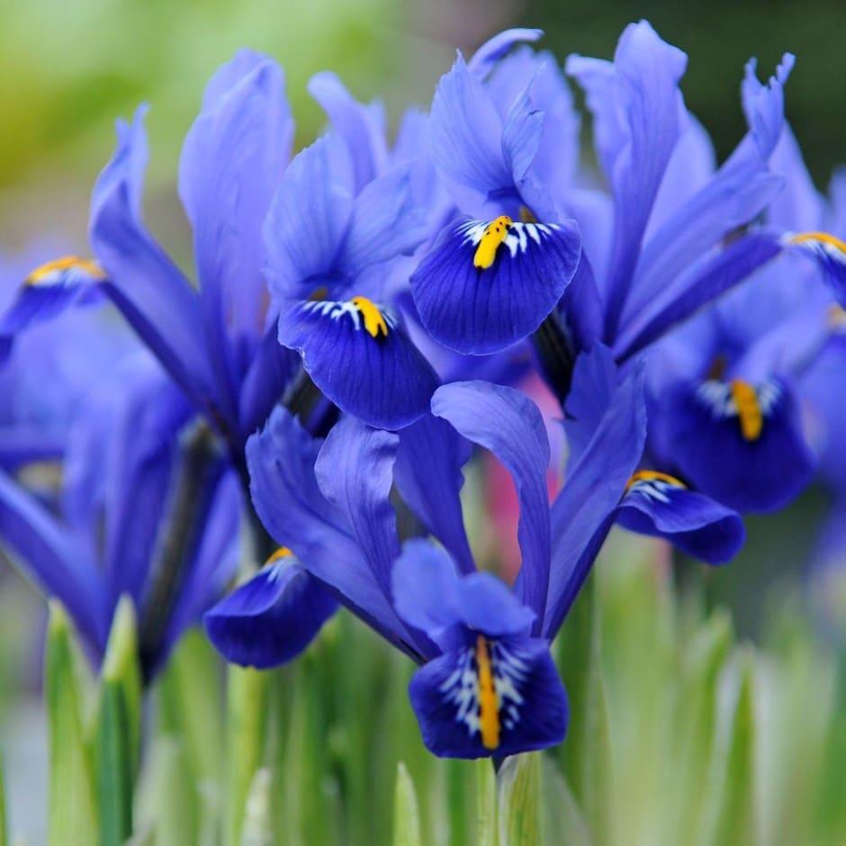 Buy Iris Bulbs Iris Harmony Reticulata 499 Delivery By Crocus