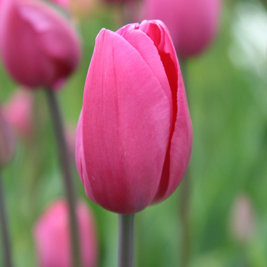 Buy Triumph Tulip Bulbs Tulipa Don Quichotte Delivery