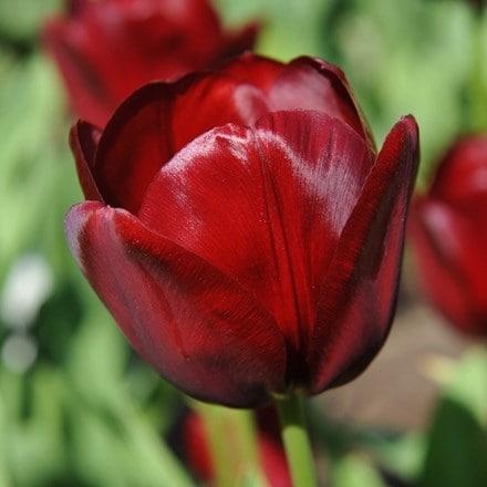 Tulipa National Velvet