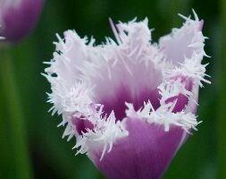 Tulipa Cummins