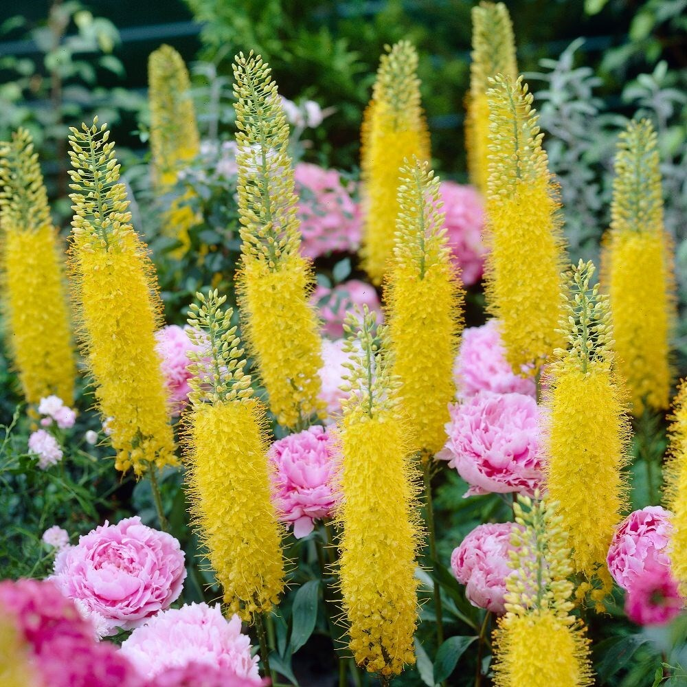 Eremurus: landing and care. Flower of great beauty 61