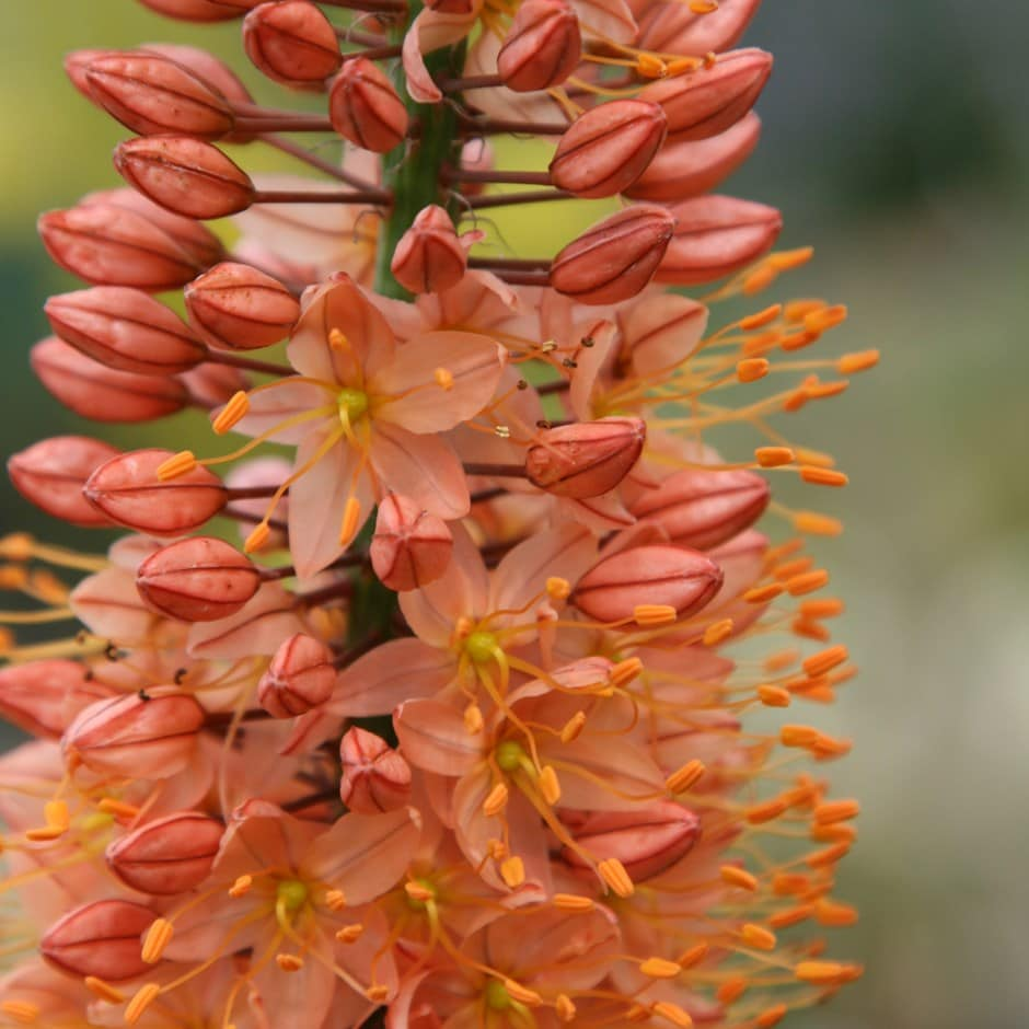 Buy Foxtail Lily Bulbs Eremurus Isabellinus Cleopatra 399