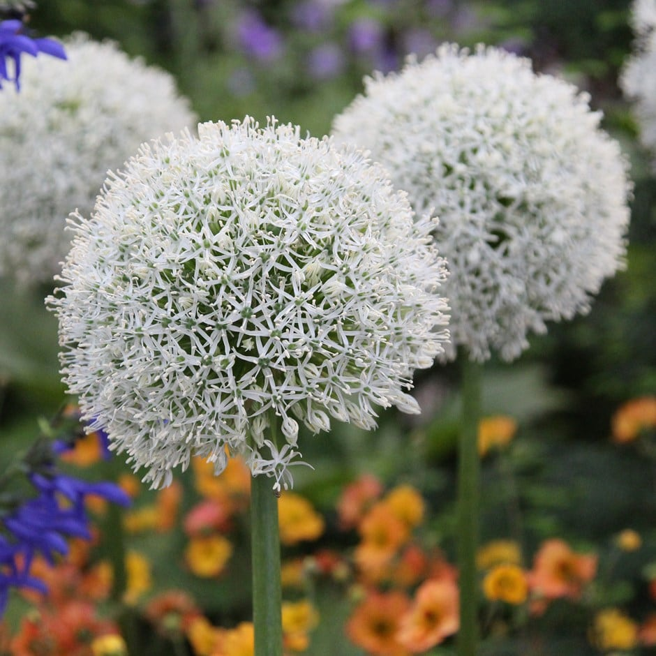 Buy Ornamental Onion Bulb Allium Stipitatum Mount Everest 279