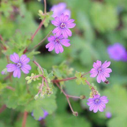 Geranium pyrenaicum Bill Wallis