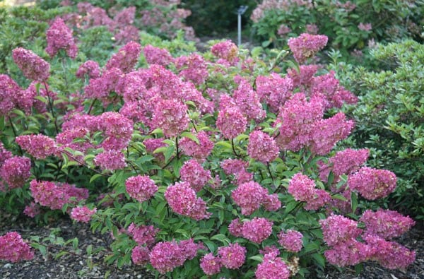 buy hydrangea hydrangea paniculata vanille fraise 39 renhy 39 pbr delivery by crocus. Black Bedroom Furniture Sets. Home Design Ideas