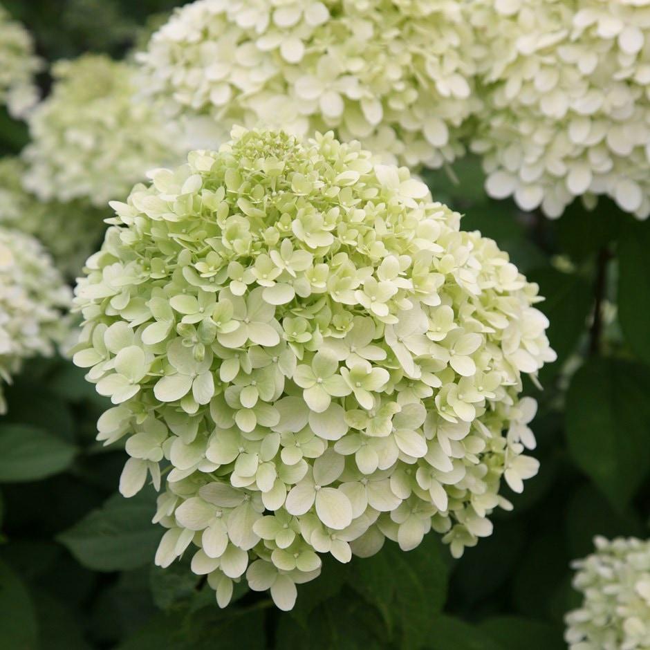 buy hydrangea hydrangea paniculata 39 limelight pbr 39 delivery by waitrose garden in association. Black Bedroom Furniture Sets. Home Design Ideas