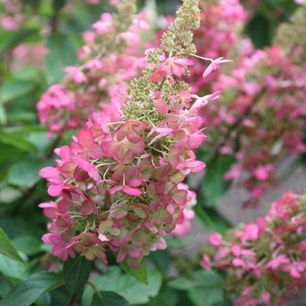 Hydrangea paniculata Pinky Winky ('Dvppinky') (PBR)