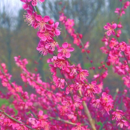 Prunus mume Beni-chidori
