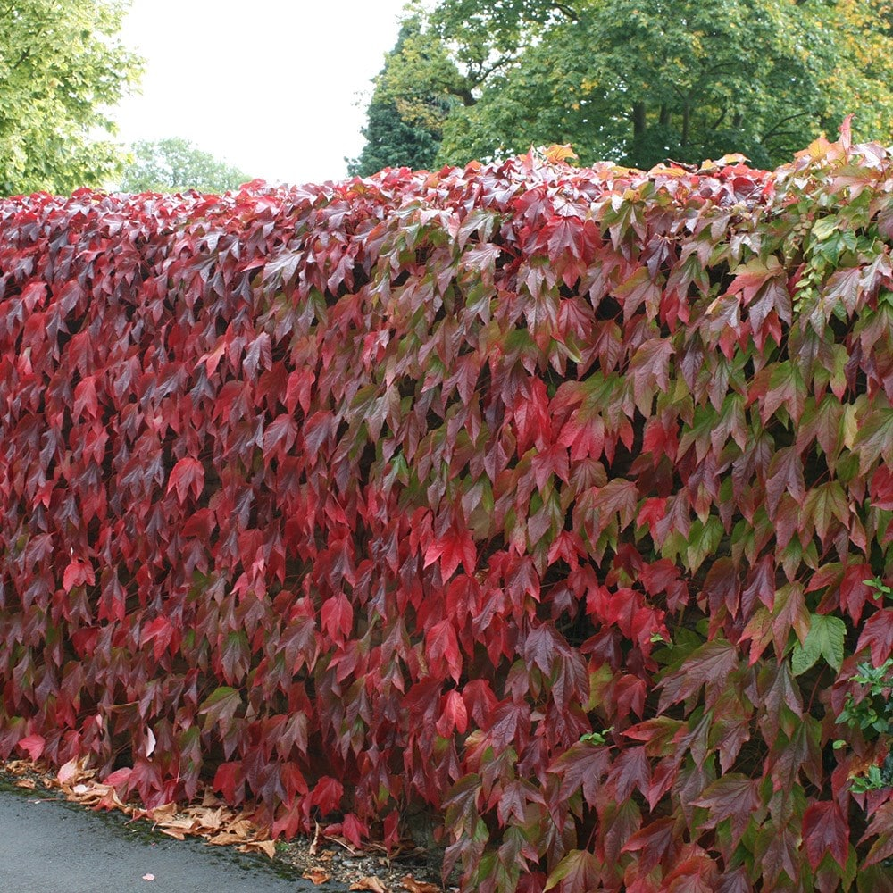 buy boston ivy parthenocissus tricuspidata veitchii delivery by crocus. Black Bedroom Furniture Sets. Home Design Ideas