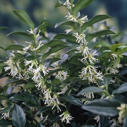 Sarcococca hookeriana var. humilis
