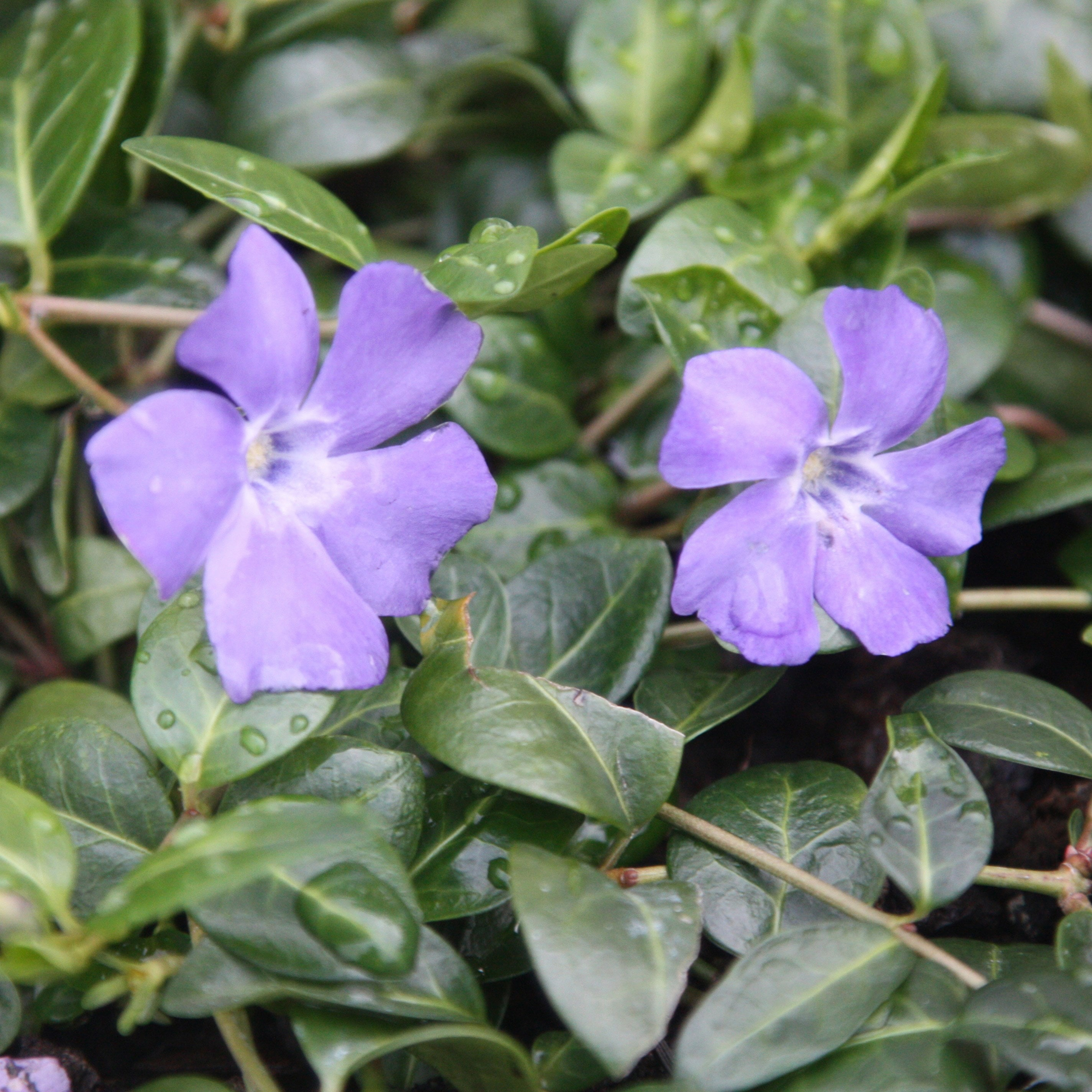 buy lesser periwinkle syn la grave vinca minor 39 bowles 39 s variety 39 delivery by waitrose garden. Black Bedroom Furniture Sets. Home Design Ideas