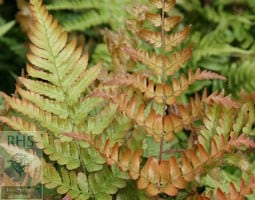 Japanese shield fern