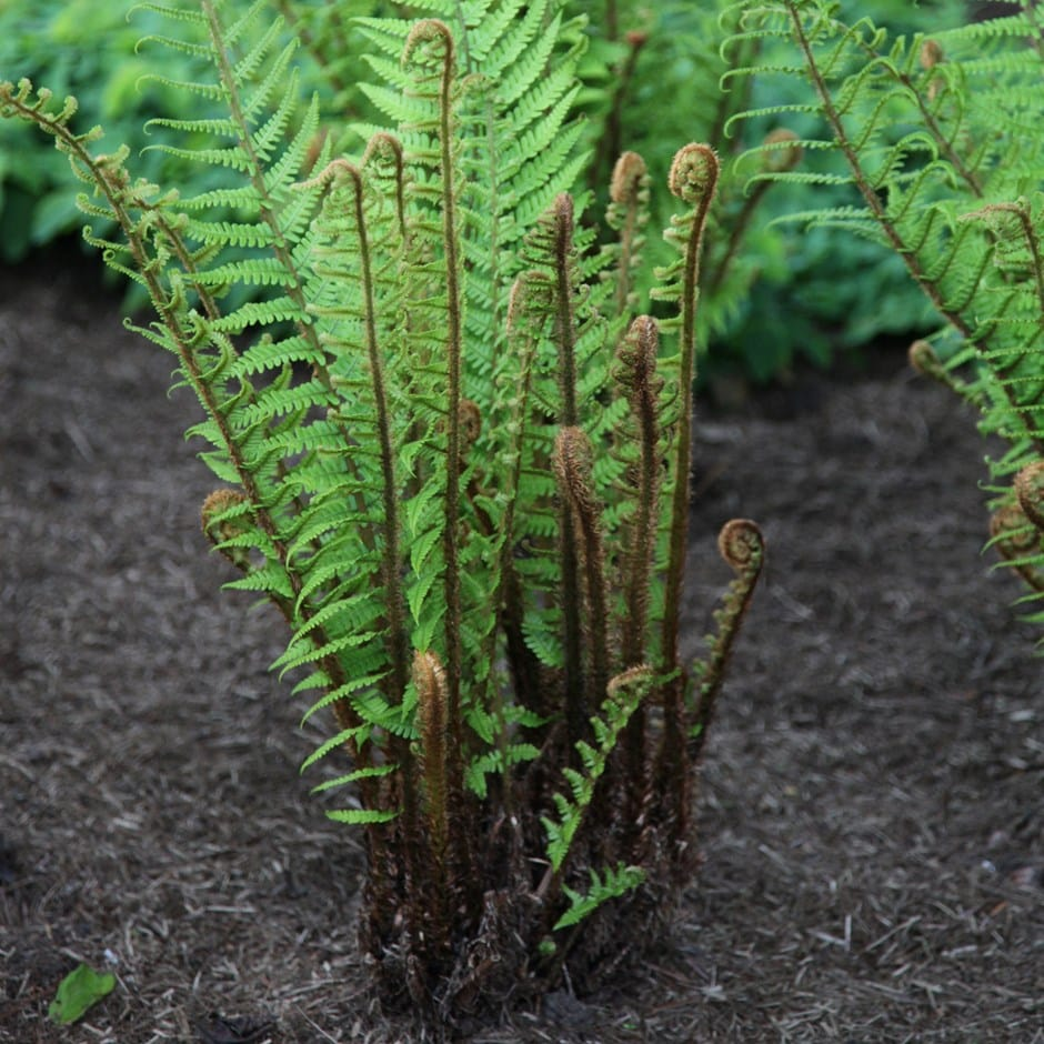 Buy Alpine Wood Fern Dryopteris Wallichiana 163 5 99