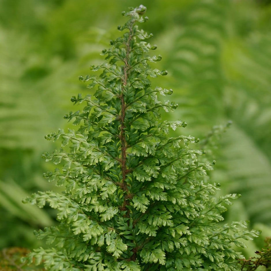 soft shield fern (syn. Plumosum Densum)