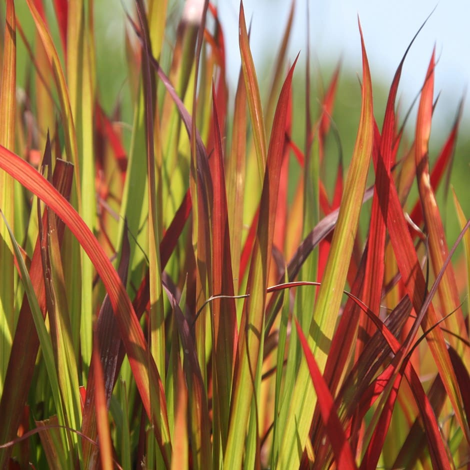 Buy Japanese Blood Grass Imperata Cylindrica Rubra 163 5 99