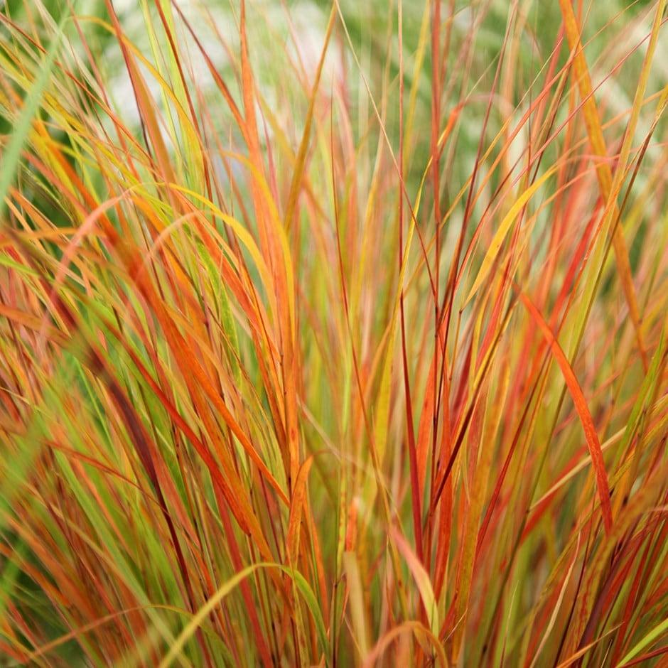 Buy Pheasant S Tail Grass Syn Stipa Arundinacea